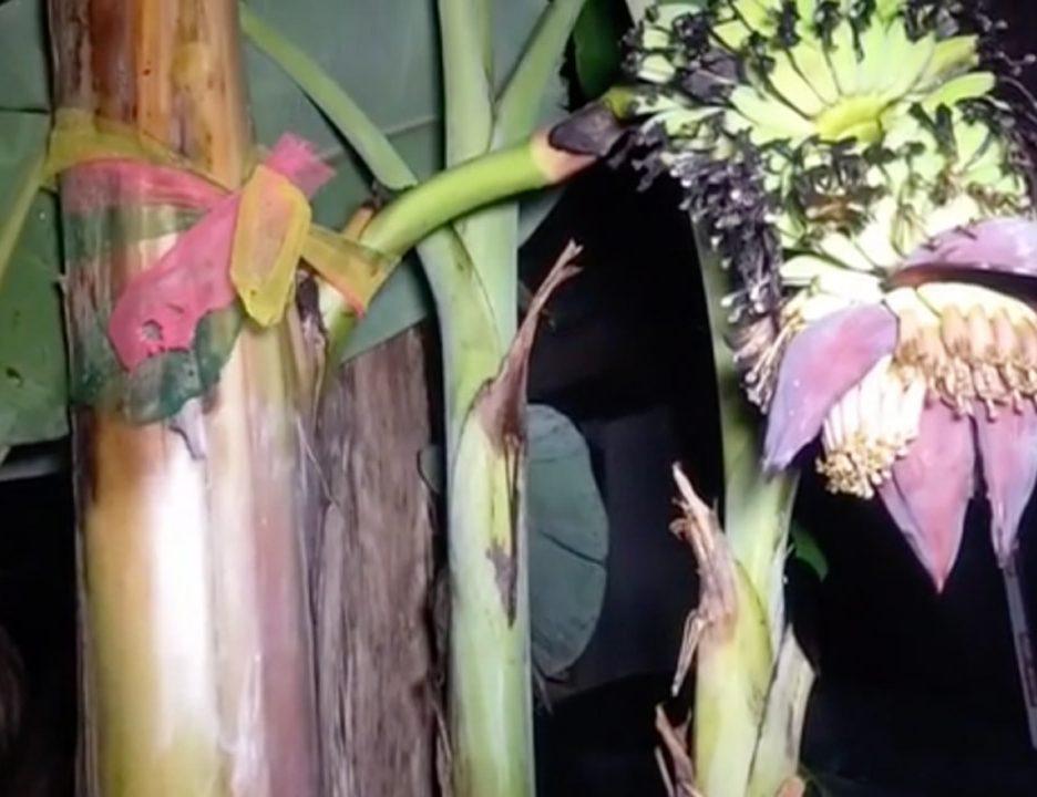"""""""เลขเด็ด"""" กล้วยตานี ออกเครือกลางต้น งวดก่อนชาวบ้านถูกเพียบ"""